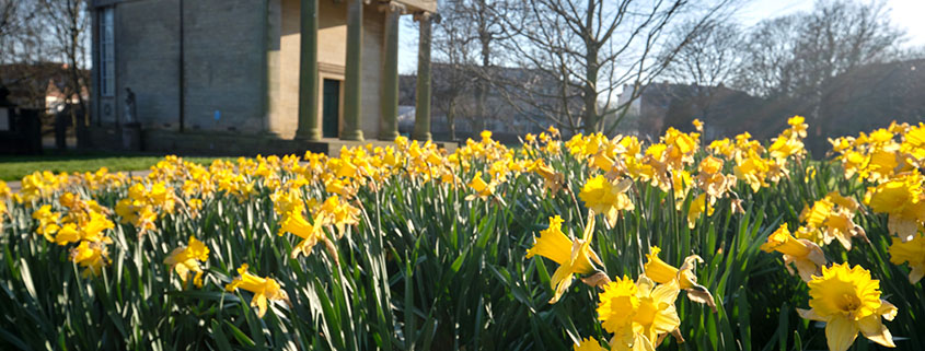 daffodils blooming on campus